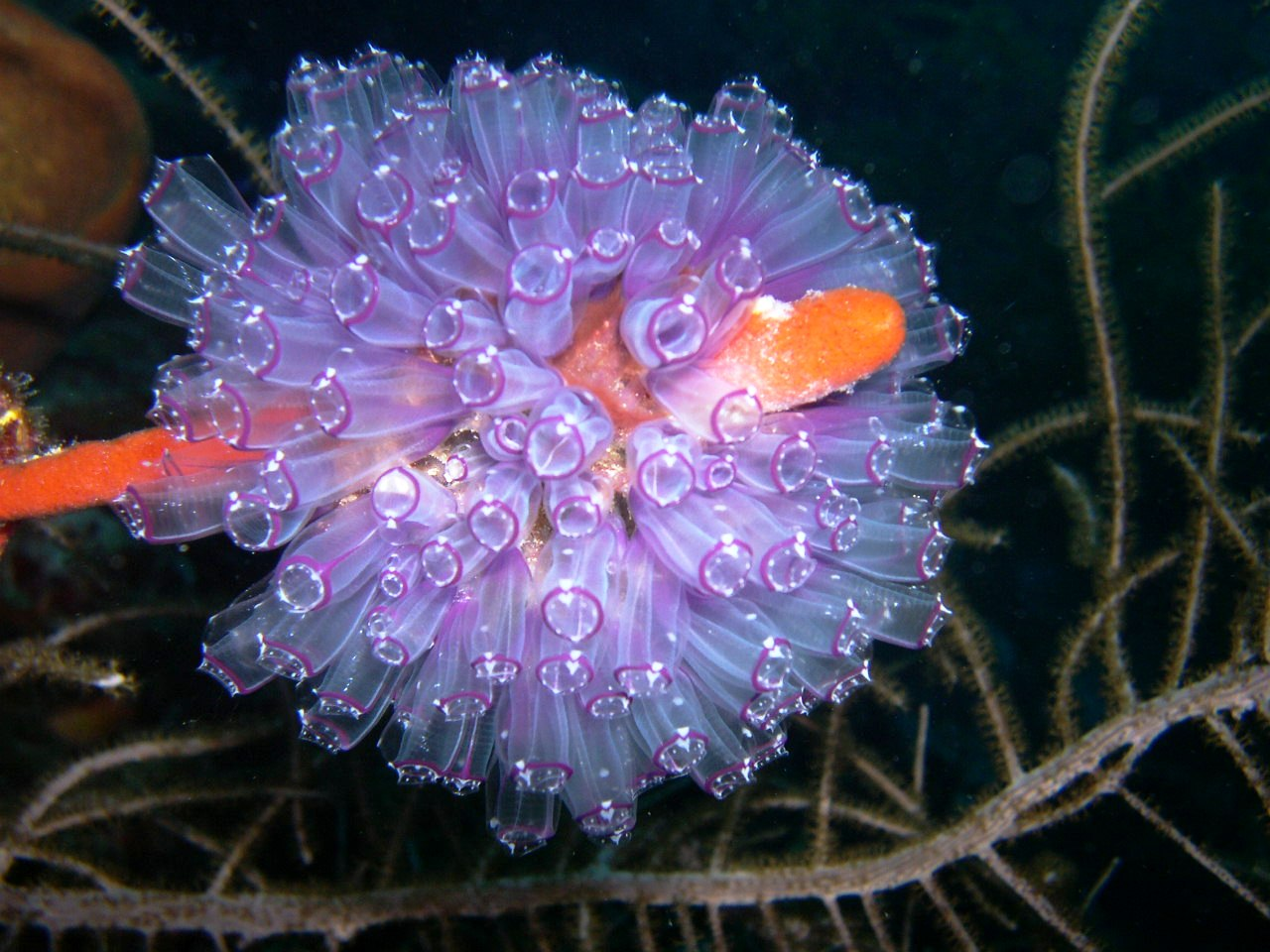 160 best tunicates sea squirts images on pinterest ocean life